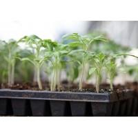 Февраль: выращиваем рассаду корневого сельдерея, перцев, баклажанов и томатов