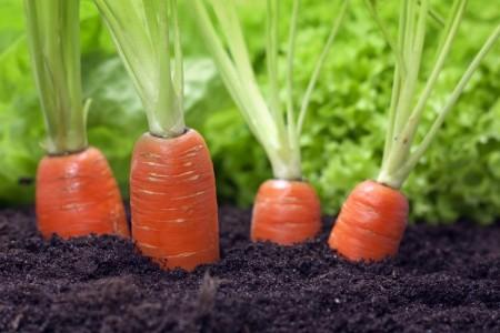 Морковные секреты в копилку садовода