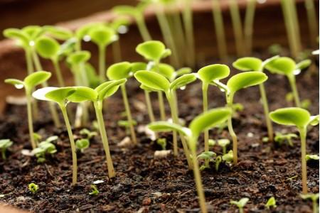 Полезные советы: Как часто поливать рассаду?