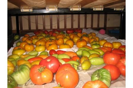 Дозревание овощей после уборки