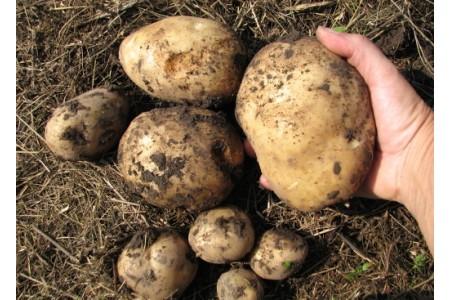 Заготавливаем картофель на зиму