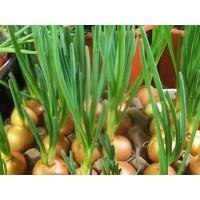 Выращиваем дома лук и чеснок