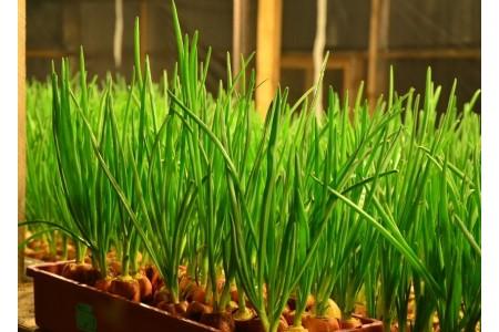 Выращиваем перьевой лук дома