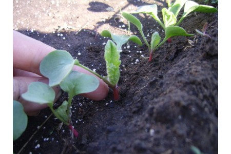 Выбор места и почвы под редис