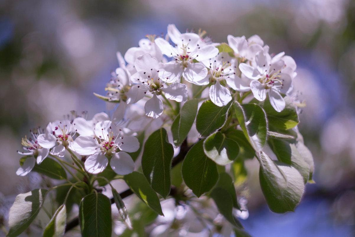 Ветка цветущей груши