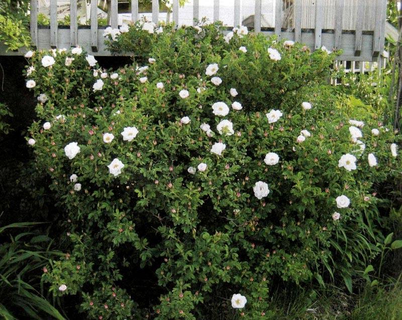Живая изгородь из розы морщинистой