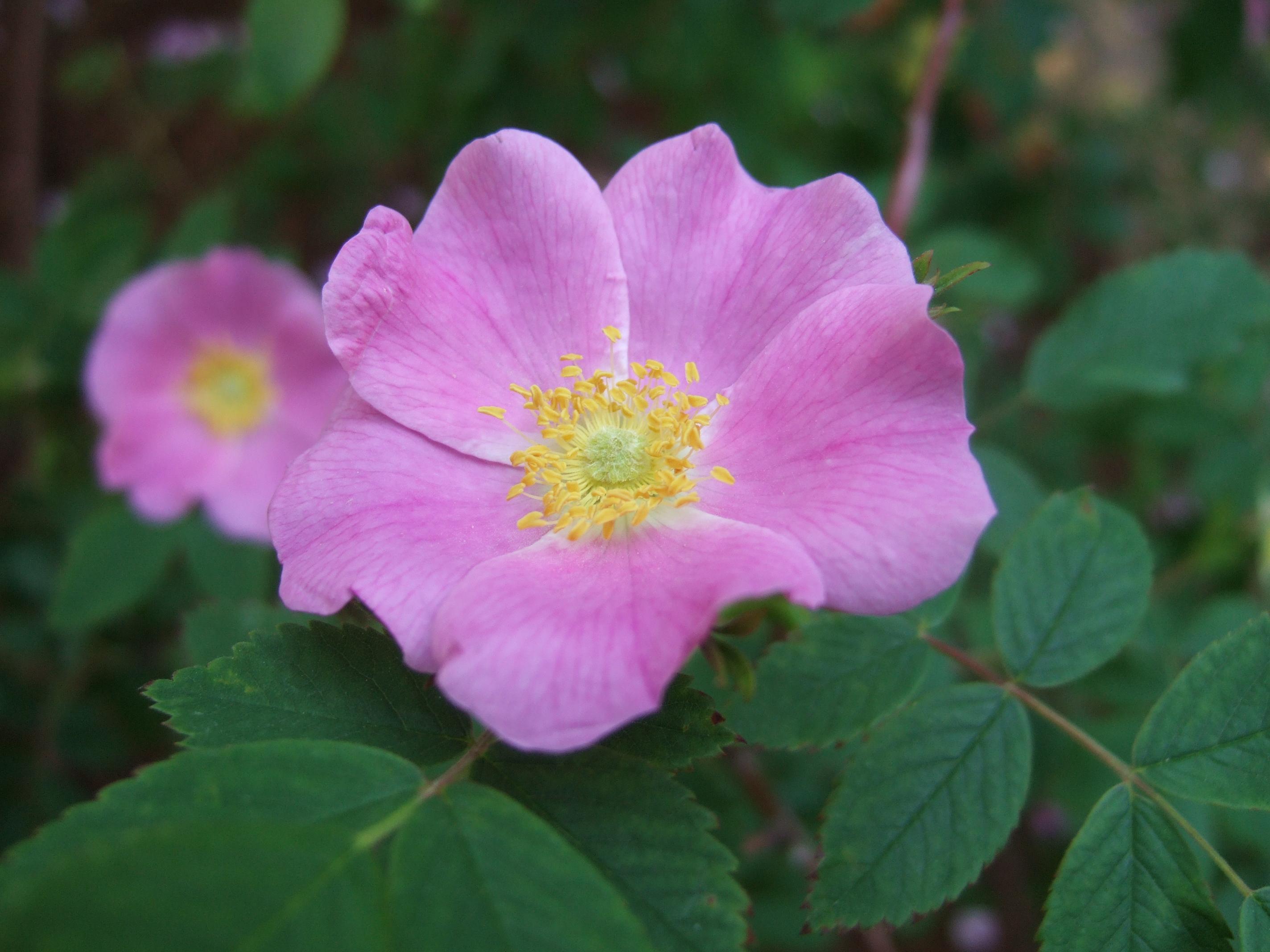 Живая изгородь из розы игольчатой