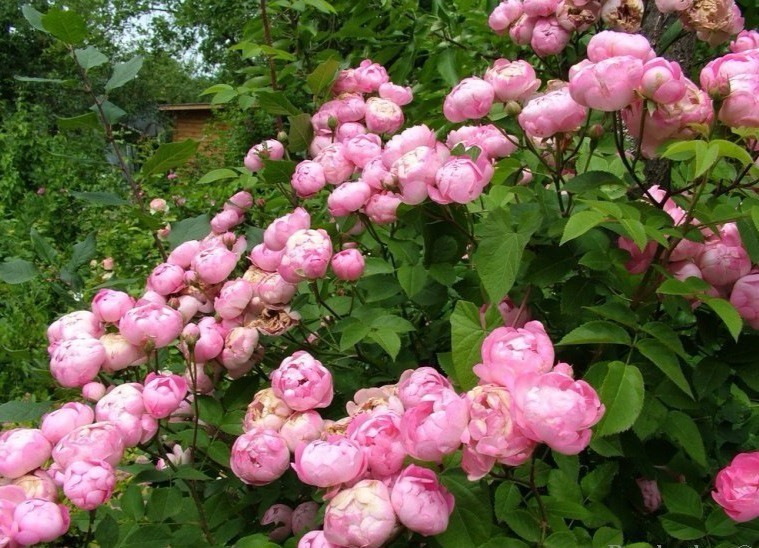 Живая изгородь из розы обыкновенной