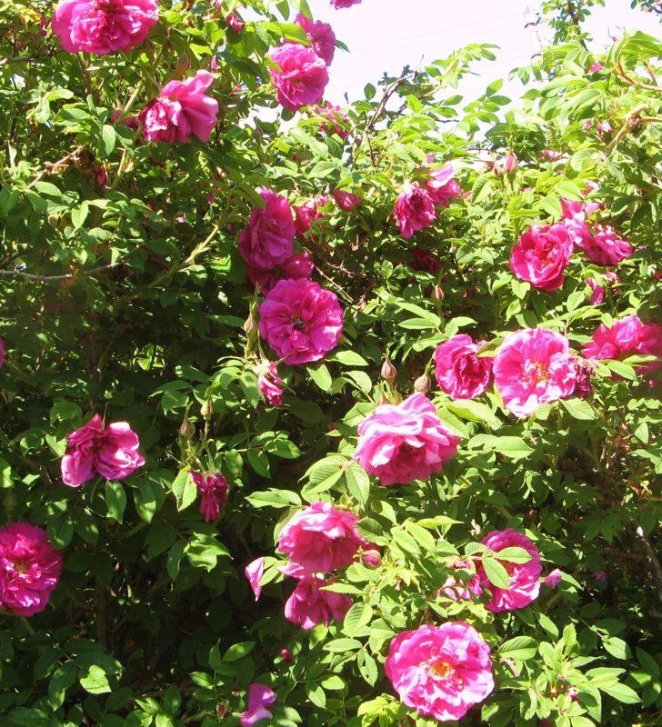Живая изгородь из розы собачей
