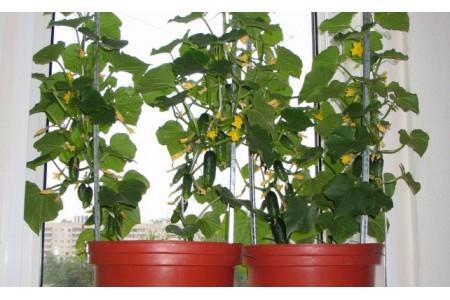 Выращиваем огурцы в домашних условиях