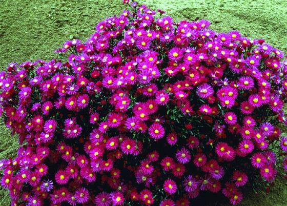 Цветок сентябрина и уход